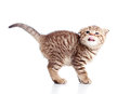 Side view of funny little Scottish fold kitten Royalty Free Stock Photo