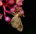 Side view  of gypsy moth  hanging on Medinella magnifica flower Royalty Free Stock Photo