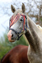 Side view head shot of a purebred arabian mare in the corral Royalty Free Stock Photo