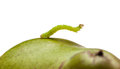 Side view of inchworm on pear small codling moth caterpillar green isolated white Stock Photo