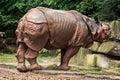 Side view of indian rhinoceros rhinoceros unicornis endangered animal species Stock Photo