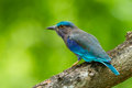 Side view of indian roller coracias benghalensis in nature thailand Stock Images