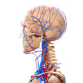 Side view of male head circulatory system d art illustration Royalty Free Stock Photography
