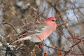 Side View of Male Pine Grosbeak Royalty Free Stock Images