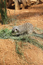 Side view of meerkat Stock Photos