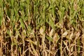 Side view of nearly ripe stalks of corn Royalty Free Stock Photo