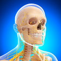 Side view of nervous system of head skeleton Stock Image