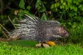 Side view of nocturnal animals malayan porcupine hystrix brachyura find some food in nature at kaengkrajarn national park thailand Royalty Free Stock Image