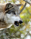 Side view portrait of one snarling wolf Royalty Free Stock Photo