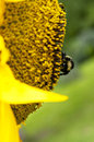 Side view of sunflower and bee bright yellow with a bumble full pollen on it yellow petals sunflowers in the foreground Royalty Free Stock Image