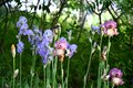 Side view to flowerbed of bearded iris flowers. Curly petals of blue and pink irises on high plant stems. Focus on foreground