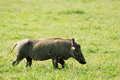 Side view wild pig africa ngorongoro crater Royalty Free Stock Photo