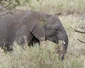 Sideview of adult elephant feeding on tall grass Royalty Free Stock Photo