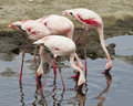 Sideview of three Flamingos standing in water with beaks down in the water Royalty Free Stock Photo