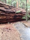 Sidewalk closed ahead large sequoia redwood tree fallen on Stock Photos