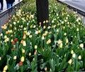 SidewalkTulip Garden #3 Royalty Free Stock Photo