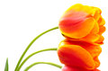 Sideways gradient warm color tulip Royalty Free Stock Image