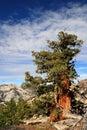 Sierra juniper tree Stock Photography