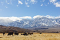 Sierra nevada mountains snowfall covers the eastern with cows in the foreground Royalty Free Stock Photography
