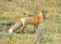 Sierra Nevada Red Fox In Grass...