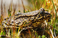 Sierra nevada yellow legged frog close up of wild sitting in the grass Stock Image