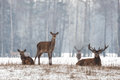 Siesta.Small Herd Of Noble Reindeer  Red Deer,Cervus Elaphus,Cervidae  Resting On A Hillock At Background Of Foggy Winter Forest Royalty Free Stock Photo