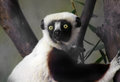 Sifaka a lemur from madagascar and its curious yellow eyes Royalty Free Stock Photo