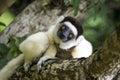 Sifaka lemur, Madagascar Royalty Free Stock Photo