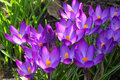 Sign of spring - crocus Royalty Free Stock Photography