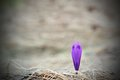 Sign of spring first in the mountains minimalist shot a crocus sativus on faded grass from last year Stock Image