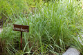 Sign with text lemongrass in front of planted lemongrass plants cymbopogon outdoors Royalty Free Stock Photography