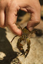 Signal crayfish one hand holding a Stock Photography