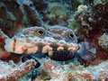 Signal goby displaying eye spots, Raja Ampat, Indonesia Royalty Free Stock Photo