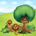 A signboard posted in a tree and the two lions Royalty Free Stock Photo