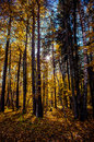 Sigulda picturesque autumn forest illuminated by the morning sun latvia Royalty Free Stock Photography