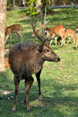 Sika Deer Royalty Free Stock Photos