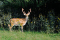 Sika Deer On A Background Of W...