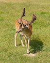 Sika deer cervus nippon also known as spotted or japanese Stock Photos