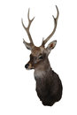 Sika deer cervus nippon point stags head isolated on white Royalty Free Stock Images