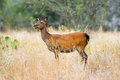 Sika Deer Doe Royalty Free Stock Photo