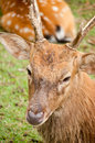 Sika deer are found in the temperate and subtropical forests of eastern asia Stock Photography