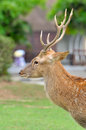 Sika deer are found in the temperate and subtropical forests of eastern asia Royalty Free Stock Photos