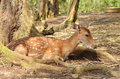 Sika deer lies on the earth Stock Image