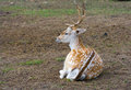 Sika deer lies on the earth Royalty Free Stock Photos