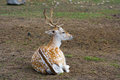 Sika deer lies on the earth Stock Photos