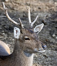 Sika deer male also known as the spotted or the japanese latin name cervus nippon Stock Photo