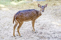 The Sika deer is one of the few deer species that does not lose its spots upon reaching maturity. Royalty Free Stock Photo