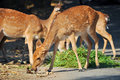 Sika eat leaves myrtle bushes grasses persimmons shrubs other plants assateague island even eat poison ivy Stock Photo