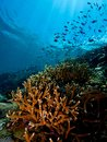 Siladen island drop off wide angle image of staghorn coral and thousands of reef fish on near jetty Stock Image