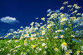 Silence camomiles and blue sky. Royalty Free Stock Photo
